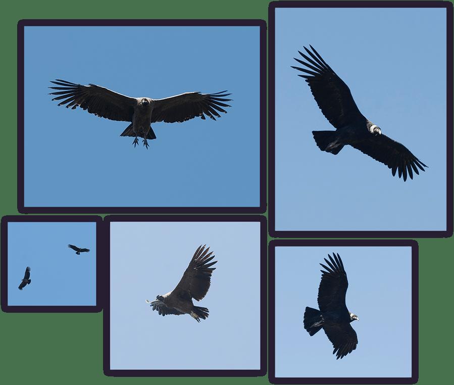 andean-condor-summary
