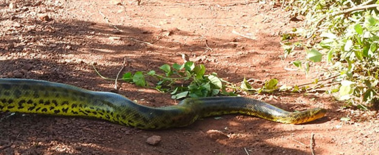 BOLIVIAN PANTANAL ANACONDA AND WILDLIFE TOUR
