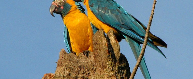 THE BLUE THROATED MACAW BIRD WATCHING DAY TOUR