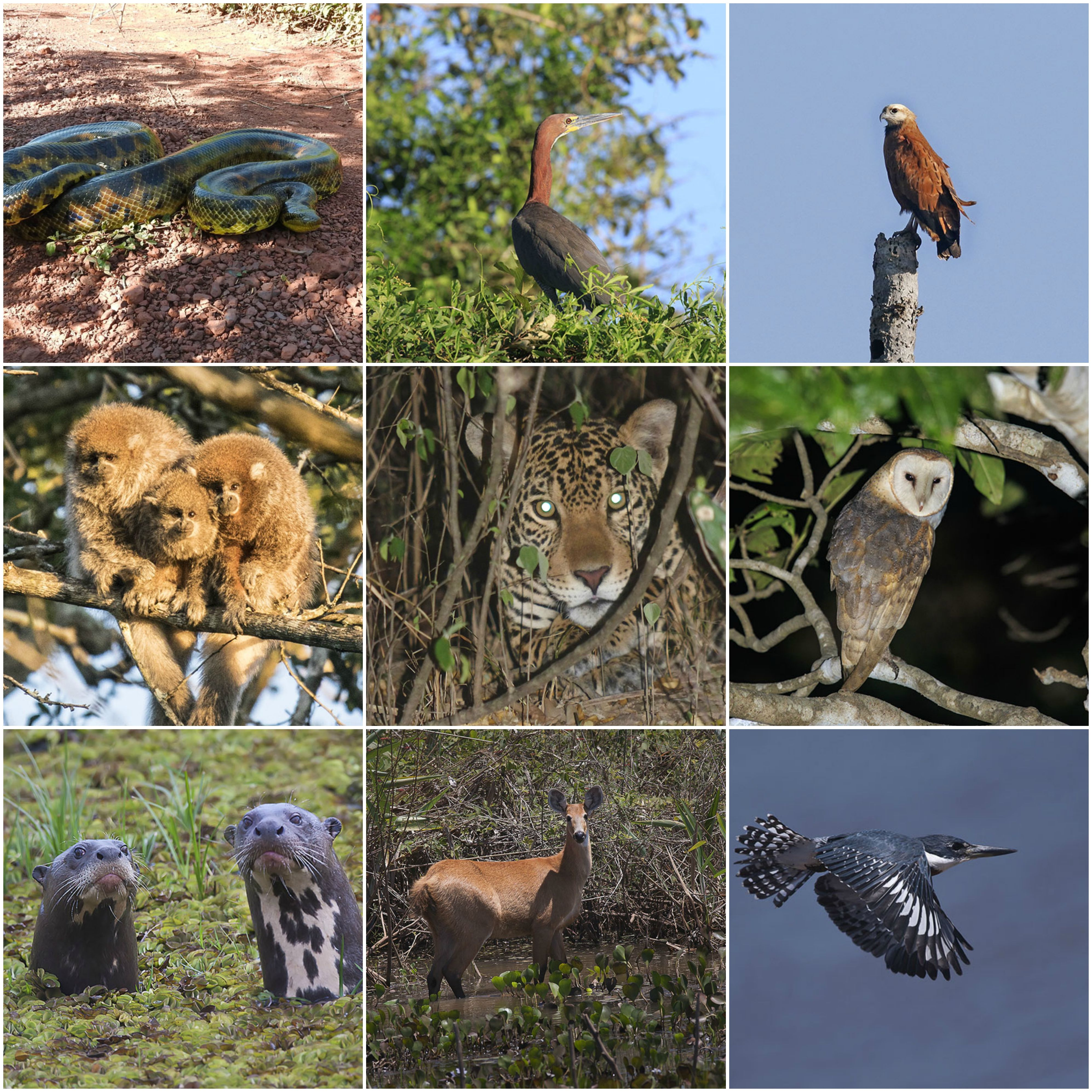 collage-sanmigueliuto-pantanal