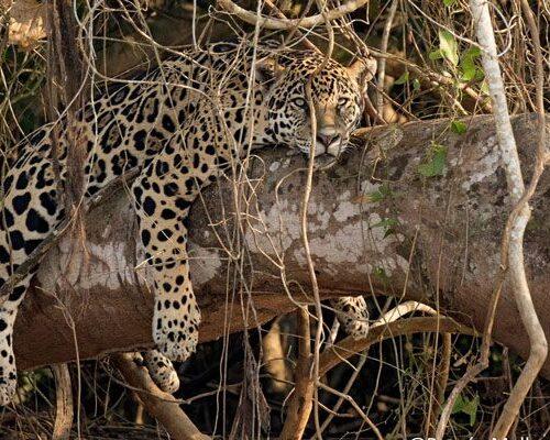 Nicks-pantanal-jaguar-013
