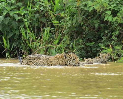 Nicks-pantanal-jaguar-017