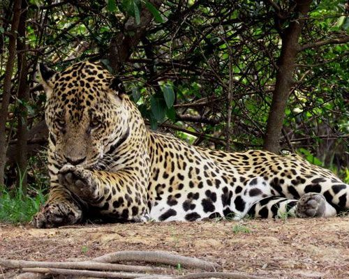 Nicks-pantanal-jaguar-021