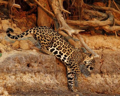 Nicks-pantanal-jaguar-025