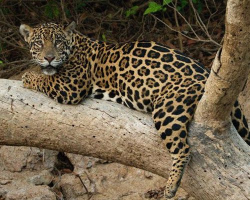 Nicks-pantanal-jaguar-026