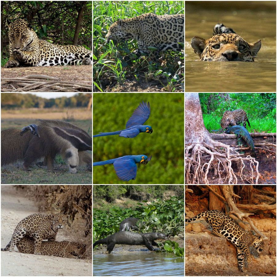 collage-nicks-brasil-jaguar-pantanal-2222