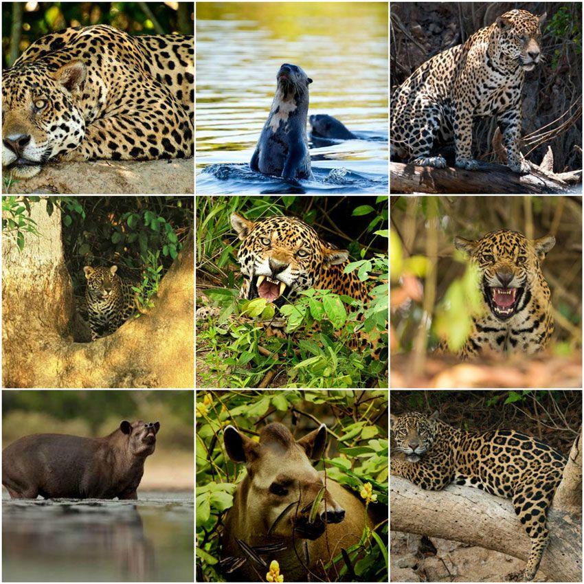 collage-nicks-brasil-jaguar-pantanal