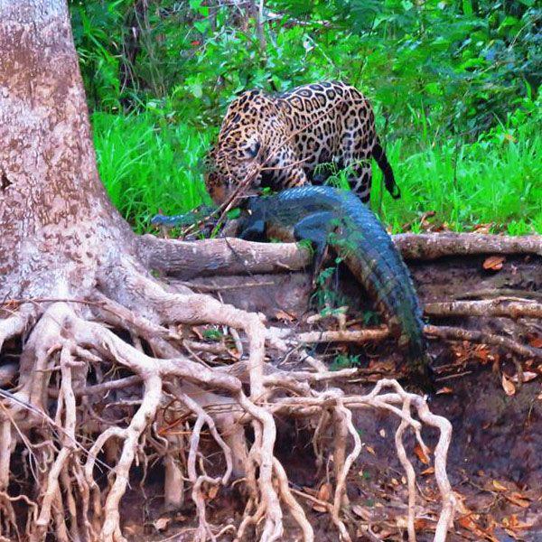 pantanal jaguar tours. Black Bedroom Furniture Sets. Home Design Ideas